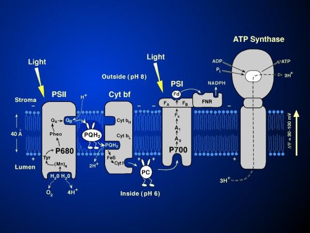 Mangansko-kalcijumski kompleks u biljkama, katalizator je koji cepa molekul vode, izdvajajući kiseonik kao potencijalno gorivo