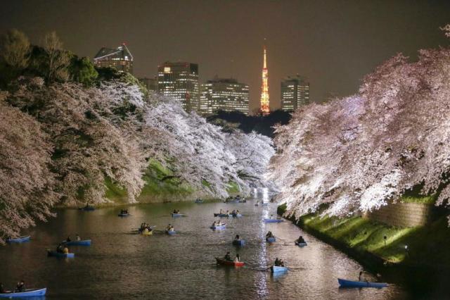 Posetioci parka i ribnjaka Čidorigafuči u Tokiju uživaju veslajući pod krošnjama trešanja u punom cvatu (30. mart)