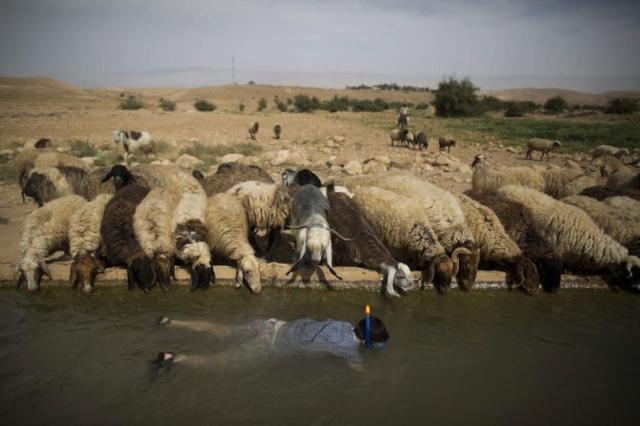 Mali Izrelac roni na palenstinskom pojilu, potoku u Jordanskoj dolini kod sela Udža, blizu Jerihona, Zapadna Obala (8.april)