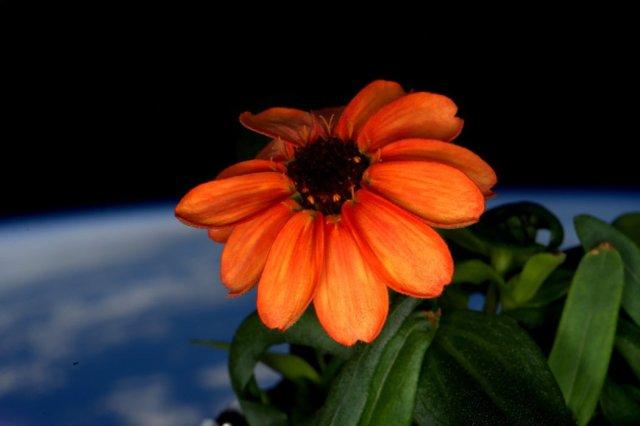Fotografija cinije u cvatu na Međunarodnoj svemirskoj stanici 17. Januara 2016. Scott Kelly/ NASA