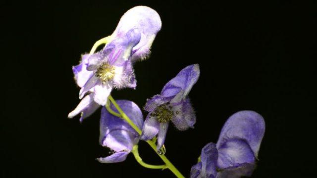 Akonitum (Modri jedić) sadrži alkaloid akonitin, desetostruko smrtonosniji od cijanida