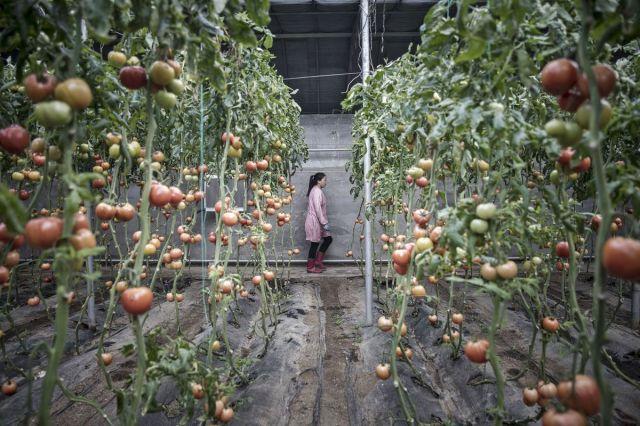 Farmer u stakleniku među lejama organskog paradajza, Penglaj, provincija Šandong, Kina, 16. februar (Qilai Shen/Bloomberg)